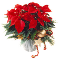 Red Poinsettia Christmas Style